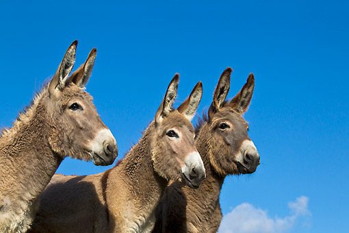 MAM 14 KH0398 01 © Kimball Stock Close-Up Of Three Contentin Donkeys Against Blue Sky France