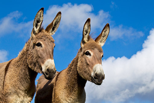 MAM 14 KH0399 01 © Kimball Stock Close-Up Of Two Contentin Donkeys Against Blue Sky France