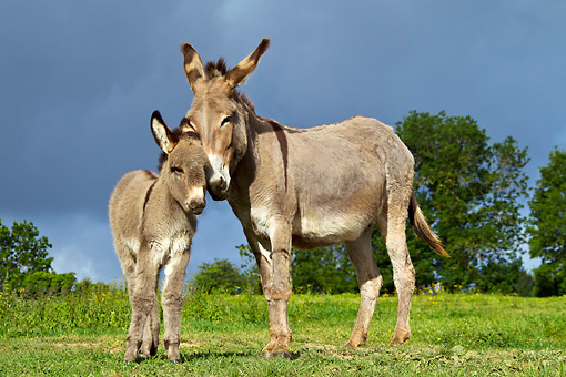 MAM 14 KH0400 01 © Kimball Stock Contentin Donkey Standing On Grass With Colt France