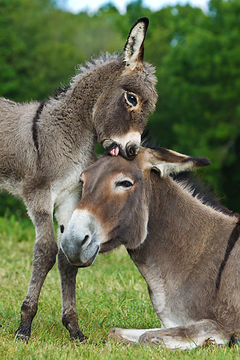 MAM 14 KH0402 01 © Kimball Stock Portrait Of Contentin Donkey Colt Nuzzling Mother France