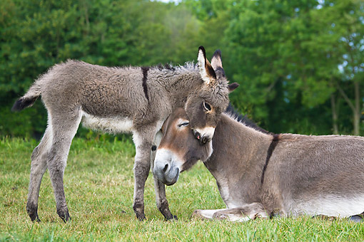 MAM 14 KH0403 01 © Kimball Stock Portrait Of Contentin Donkey Colt Nuzzling Mother France