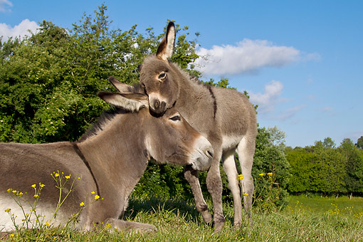 MAM 14 KH0404 01 © Kimball Stock Portrait Of Contentin Donkey Colt Nuzzling Mother France