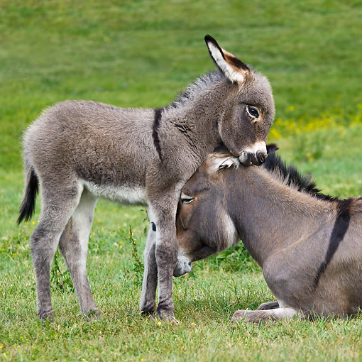 MAM 14 KH0405 01 © Kimball Stock Portrait Of Contentin Donkey Colt Nuzzling Mother France