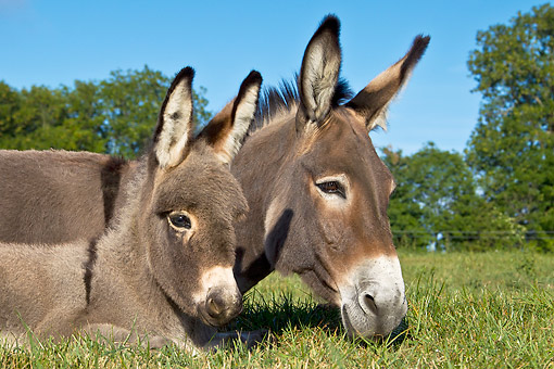 MAM 14 KH0406 01 © Kimball Stock Close-Up Of Contentin Donkey And Colt Laying On Grass France