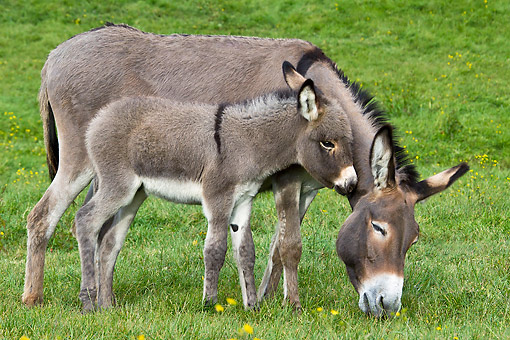 MAM 14 KH0407 01 © Kimball Stock Contentin Donkey And Colt Grazing On Grass France