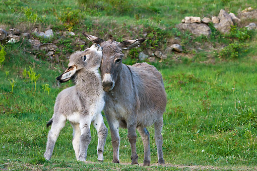 MAM 14 KH0411 01 © Kimball Stock Sardinian Donkey Foal Playing With Mother On Grass France