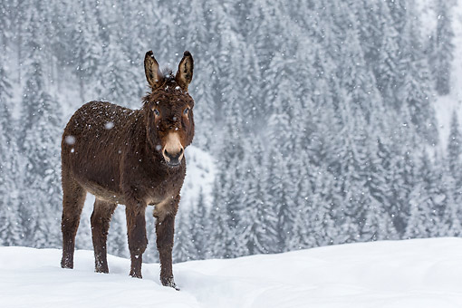 MAM 14 KH0414 01 © Kimball Stock Common Donkey Standing In Snowy Forest France