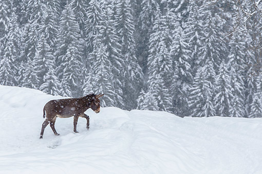 MAM 14 KH0415 01 © Kimball Stock Common Donkey Walking Through Snowy Forest France