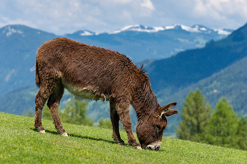 MAM 14 KH0416 01 © Kimball Stock Donkey On Mountain In Germany