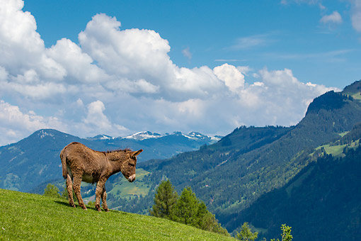 MAM 14 KH0417 01 © Kimball Stock Donkey On Mountain In Germany