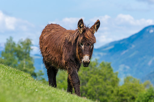 MAM 14 KH0418 01 © Kimball Stock Donkey On Mountain In Germany