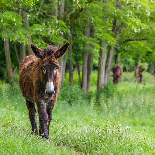 MAM 14 KH0419 01 © Kimball Stock Poitou Donkey Walking In Forest In Normandy, France