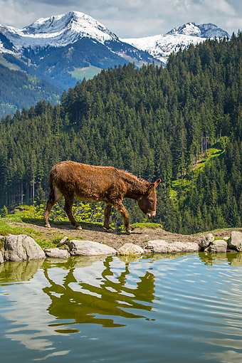 MAM 14 KH0420 01 © Kimball Stock Donkey Walking Near Pond On Mountain In Germany