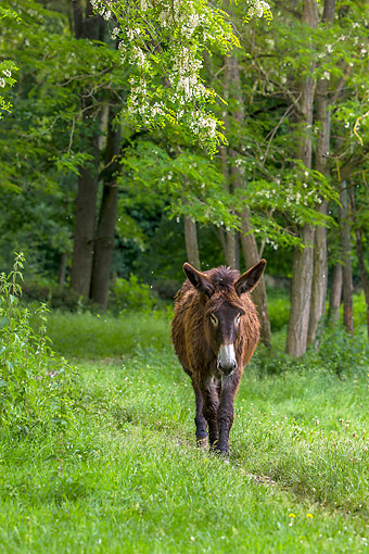 MAM 14 KH0421 01 © Kimball Stock Paitou Donkey Wandering Trail In Normandy, France