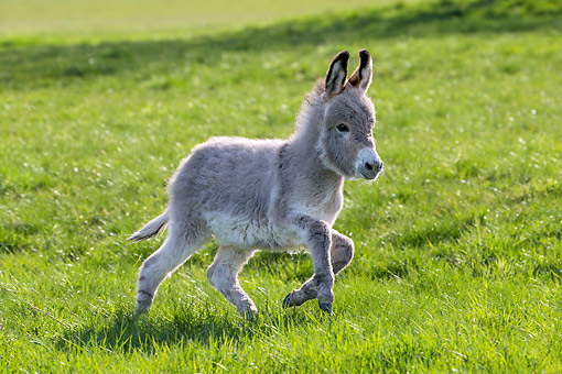 MAM 14 KH0426 01 © Kimball Stock Donkey Foal Trotting In Meadow