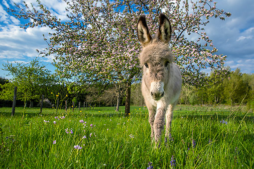 MAM 14 KH0428 01 © Kimball Stock Donkey Foal Standing In Meadow
