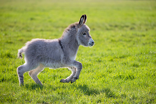 MAM 14 KH0430 01 © Kimball Stock Donkey Foal Running In Meadow