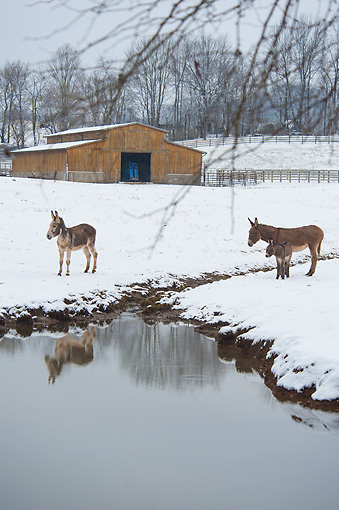 MAM 14 MB0007 01 © Kimball Stock Donkeys Standing By Pond In Winter Pasture