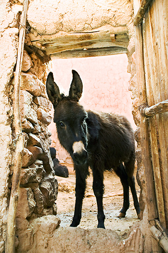 MAM 14 MH0002 01 © Kimball Stock Close Up Of Donkey In Doorway Morocco