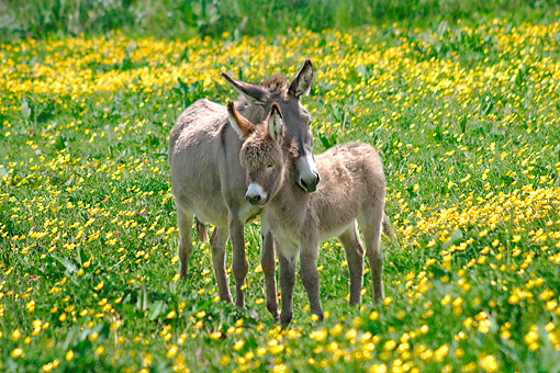 MAM 14 SJ0007 01 © Kimball Stock Common Donkey And Foal Nuzzling In Grass And Yellow Flowers
