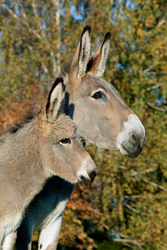 MAM 14 KH0014 01 © Kimball Stock Head Shot Of Contentin Donkey Mother And Foal Standing In Pasture