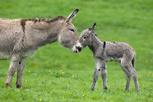 MAM 14 KH0015 01 © Kimball Stock Close-Up Of Contentin Donkey Mother Standing In Pasture Kissing Newborn Foal