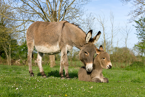 MAM 14 KH0017 01 © Kimball Stock Contentin Donkey Mother Standing In Pasture Nuzzling Foal