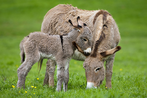 MAM 14 KH0019 01 © Kimball Stock Contentin Donkey Mother And Foal Standing In Pasture Grazing