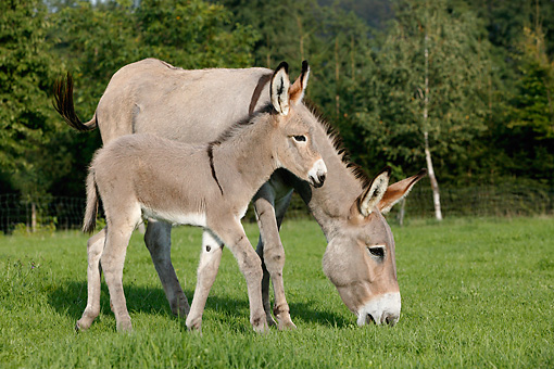 MAM 14 KH0020 01 © Kimball Stock Contentin Donkey Mother And Foal Standing In Pasture Grazing