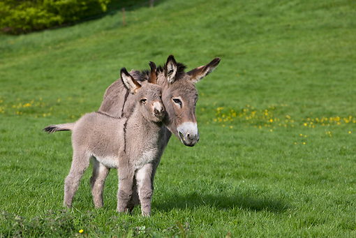 MAM 14 KH0021 01 © Kimball Stock Contentin Donkey Mother And Foal Standing In Pasture Nuzzling