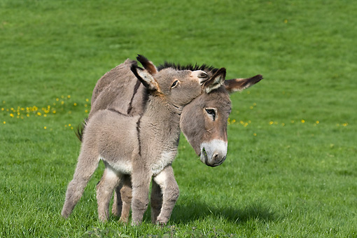 MAM 14 KH0022 01 © Kimball Stock Contentin Donkey Mother And Foal Standing In Pasture Nuzzling