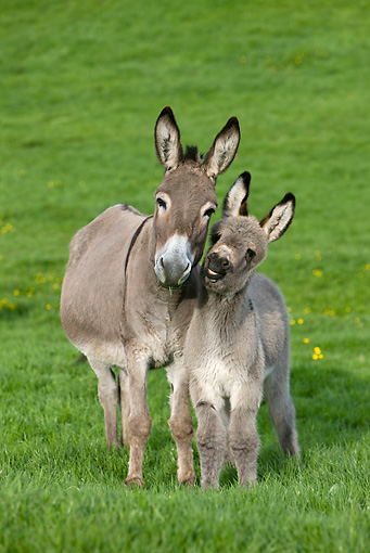 MAM 14 KH0023 01 © Kimball Stock Contentin Donkey Mother And Foal Standing In Pasture Head On