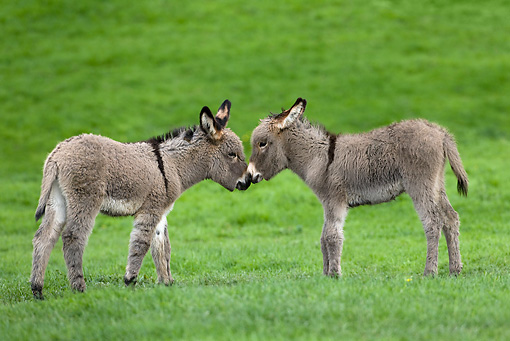 MAM 14 KH0024 01 © Kimball Stock Two Contentin Donkey Foals Standing In Pasture Nuzzling