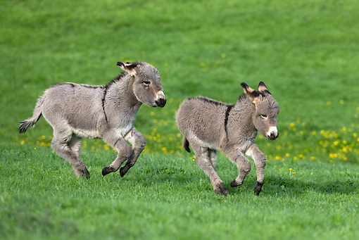 MAM 14 KH0025 01 © Kimball Stock Two Contentin Donkey Foals Running In Pasture
