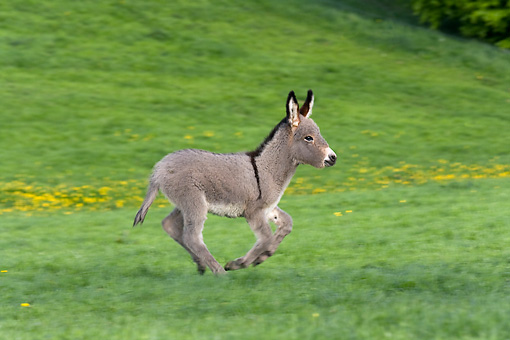 MAM 14 KH0027 01 © Kimball Stock Contentin Donkey Foal Running In Pasture