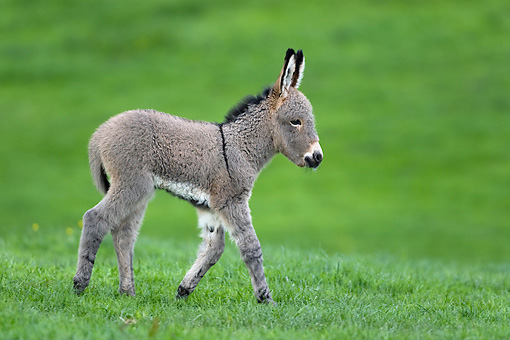 MAM 14 KH0028 01 © Kimball Stock Contentin Donkey Foal Trotting In Pasture