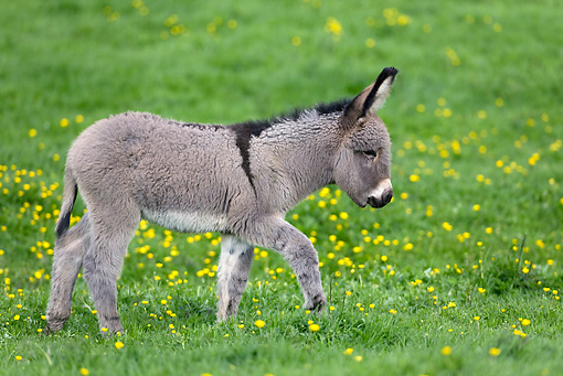 MAM 14 KH0029 01 © Kimball Stock Contentin Donkey Foal Walking In Pasture