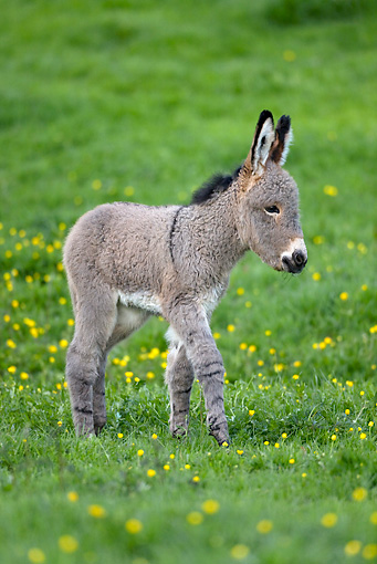 MAM 14 KH0030 01 © Kimball Stock Contentin Donkey Foal Walking In Pasture