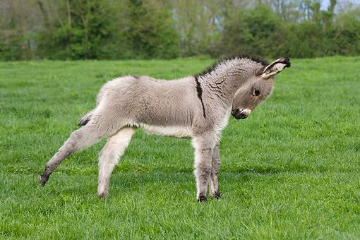 MAM 14 KH0031 01 © Kimball Stock Contentin Donkey Foal Standing In Pasture Stretching