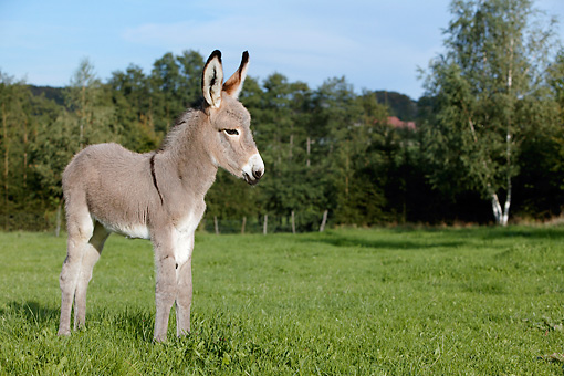 MAM 14 KH0033 01 © Kimball Stock Contentin Donkey Foal Standing In Pasture