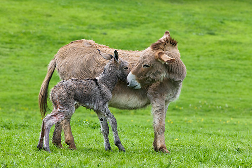 MAM 14 KH0041 01 © Kimball Stock Cotentin Donkey Mother Standing In Pasture Kissing Newborn Foal