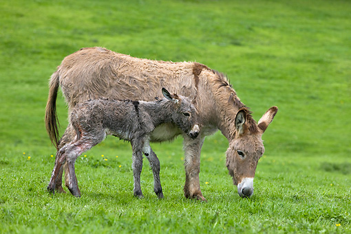 MAM 14 KH0042 01 © Kimball Stock Cotentin Donkey Mother And Newborn Foal Standing In Pasture