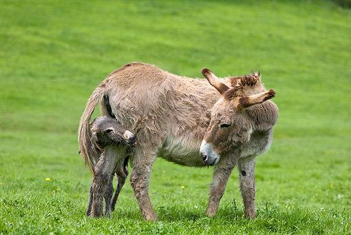 MAM 14 KH0043 01 © Kimball Stock Cotentin Donkey Mother Standing In Pasture With Newborn Foal Hiding Behind Legs Sticking Out Tongue