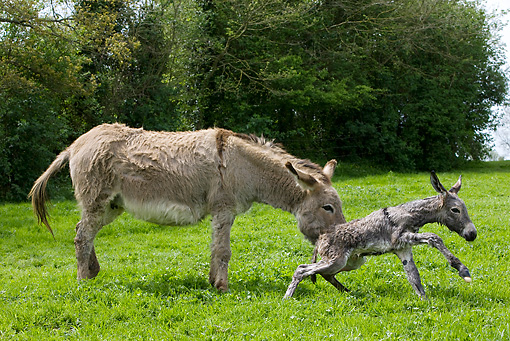 MAM 14 KH0045 01 © Kimball Stock Cotentin Donkey Mother Standing In Pasture Helping Newborn Foal Stand Up