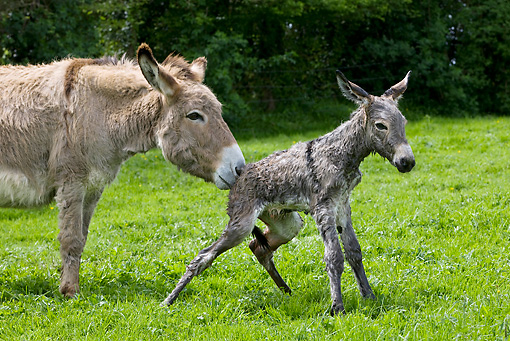 MAM 14 KH0046 01 © Kimball Stock Close-Up Of Cotentin Donkey Mother Standing In Pasture Helping Newborn Foal Stand Up