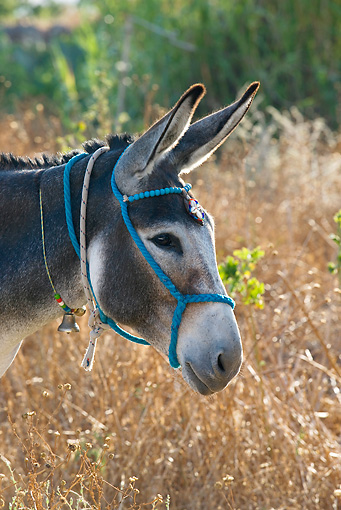 MAM 14 KH0049 01 © Kimball Stock Head Shot Of Greek Donkey Standing In Field Wearing Halter