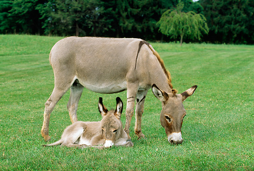 MAM 14 LS0004 01 © Kimball Stock Donkey Foal Laying On Grass Next To Mother