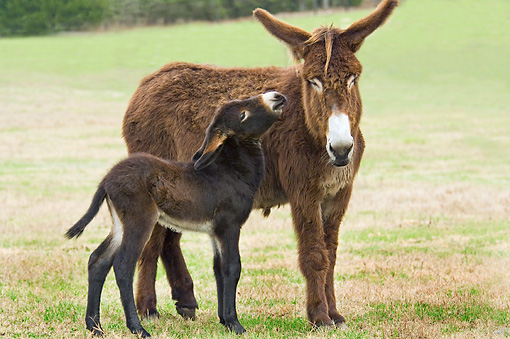 MAM 14 MB0001 01 © Kimball Stock Poitou Donkey Jenny And Foal Standing In Pasture
