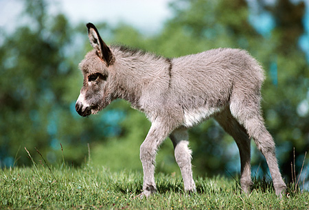 MAM 14 RK0001 02 © Kimball Stock Young Donkey Standing In Green Pasture