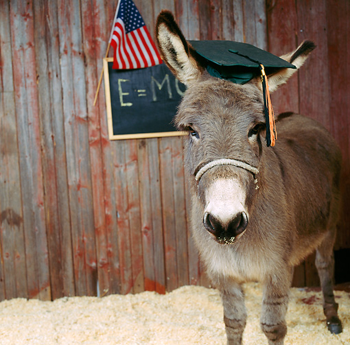 MAM 14 RS0007 02 © Kimball Stock Miniature Donkey Wearing Graduation Hat